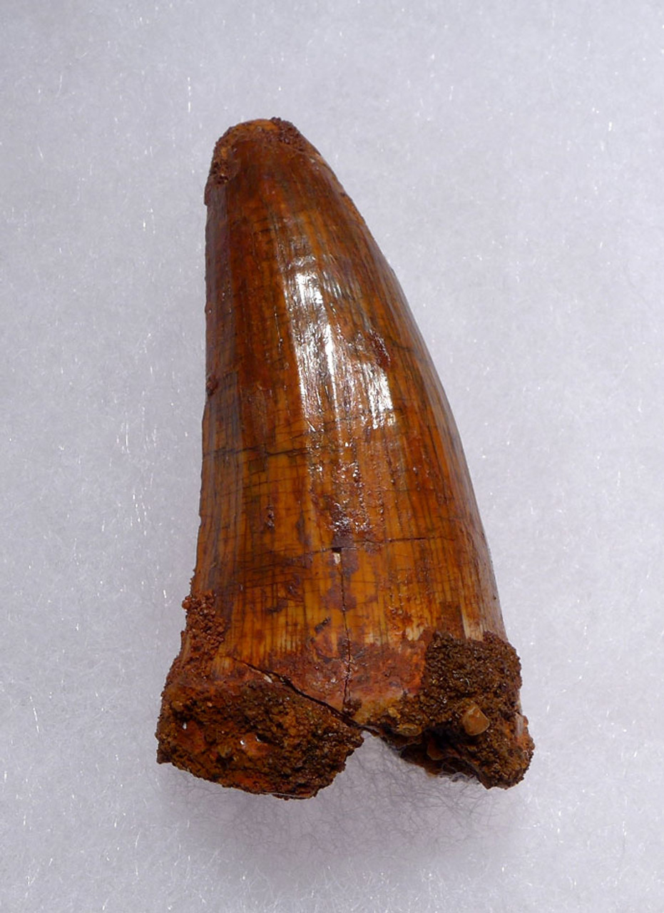 LARGE FINEST UNBROKEN 2 INCH CROCODILE FOSSIL FANG TOOTH FROM THE CRETACEOUS *CROC078