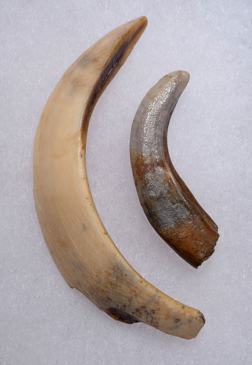 EUROPEAN ICE AGE WILD BOAR FOSSIL LOWER TUSK AND UPPER INCISOR *LMX235