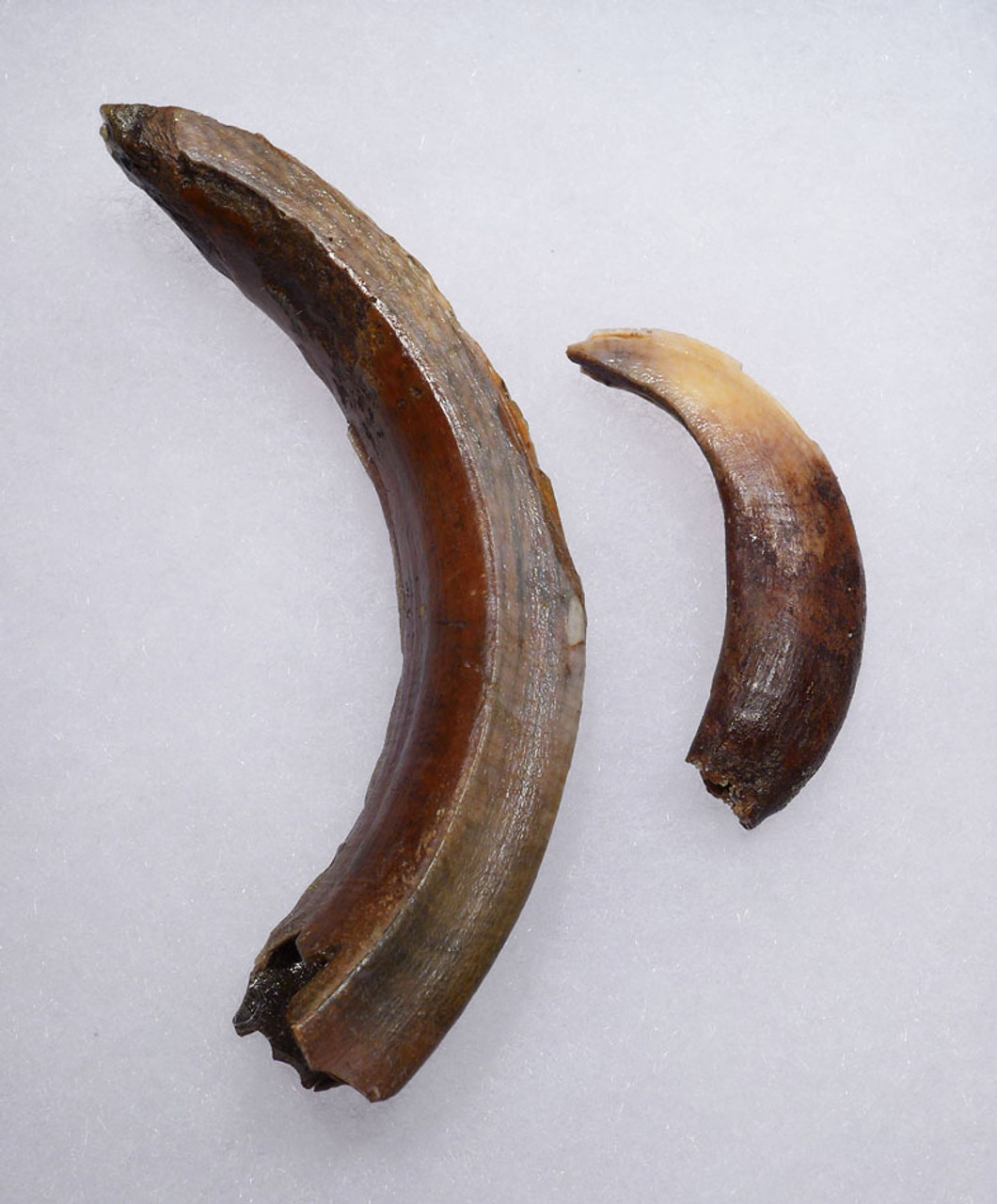 LARGE EUROPEAN ICE AGE WILD BOAR FOSSIL LOWER TUSK AND UPPER INCISOR TOOTH *LMX232