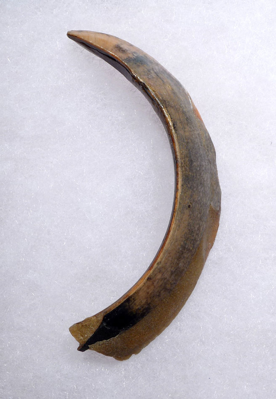 FOSSIL WILD BOAR TUSK FOR SALE