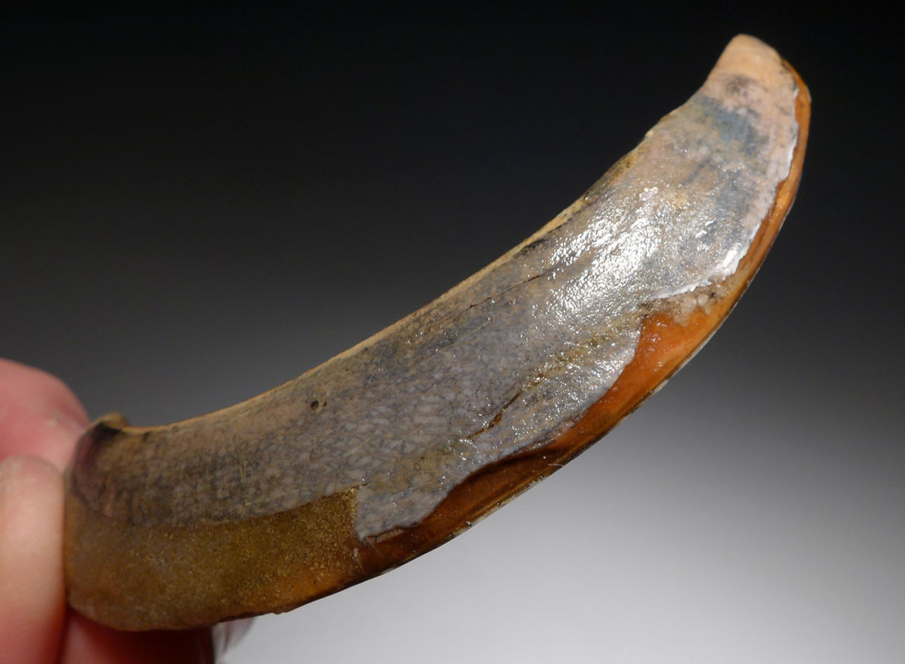 FOSSIL TUSK FOR SALE