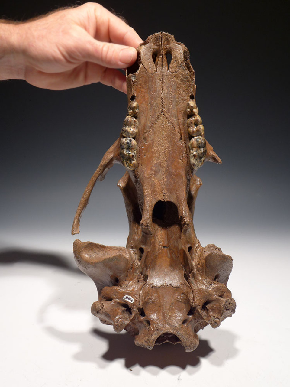 ULTRA RARE URSUS ARCTOS ICE AGE FOSSIL BROWN BEAR SKULL FROM CENTRAL EUROPE *LMX180