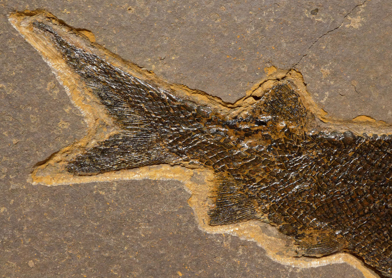 PERMIAN PARAMBLYPTERUS FISH FOSSIL FROM BEFORE THE DINOSAURS *F172
