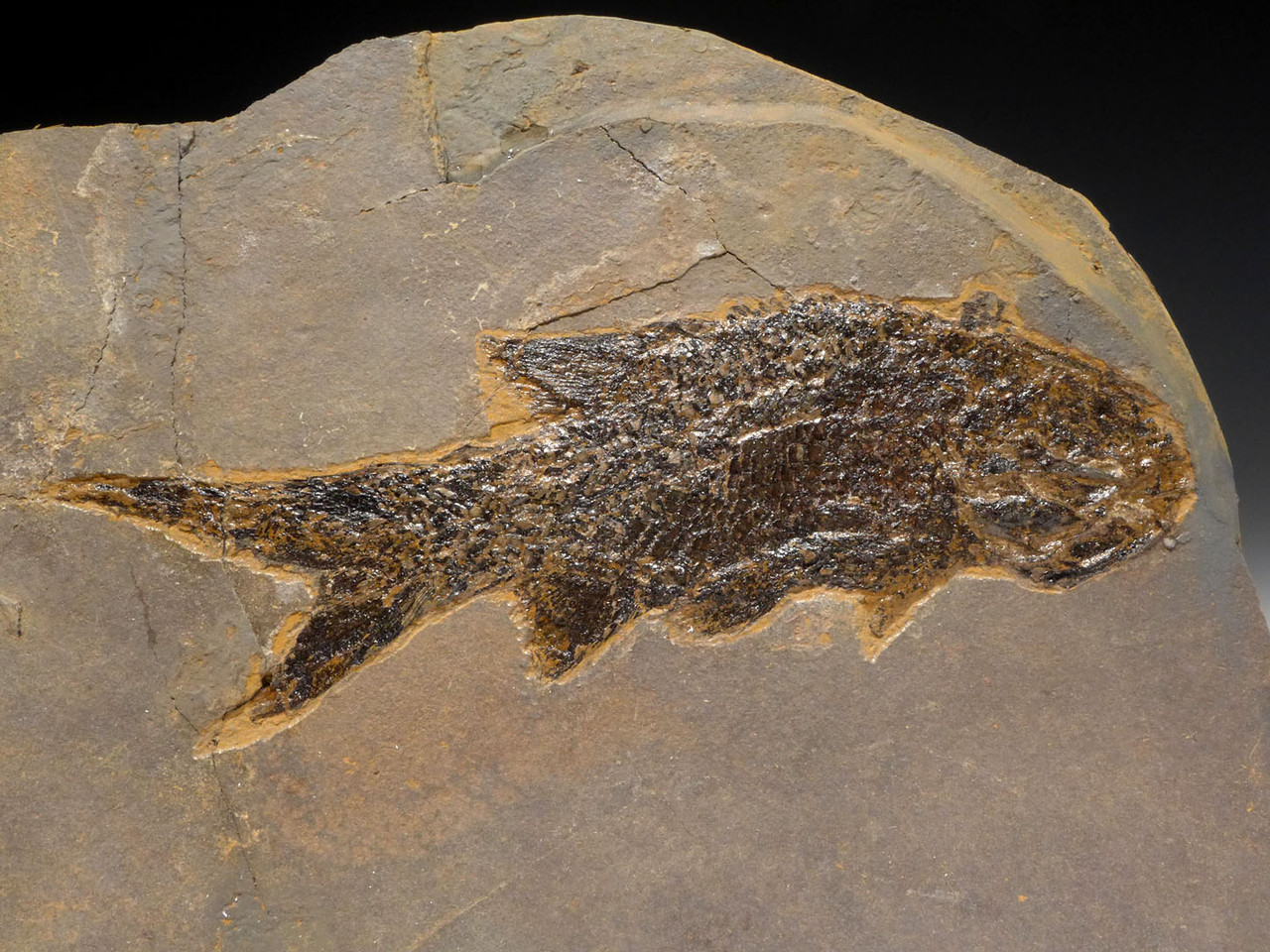 LARGE PERMIAN PARAMBLYPTERUS FISH FOSSIL FROM BEFORE THE DINOSAURS *F164
