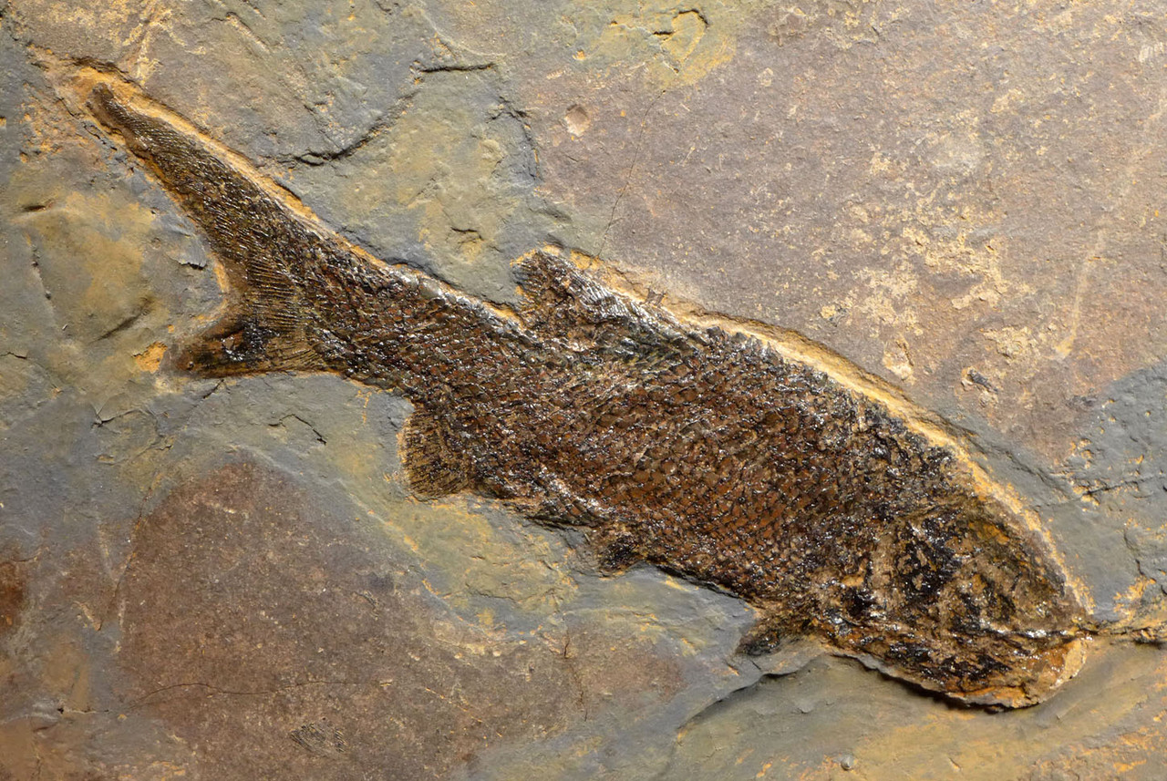 CHOICE QUALITY LARGE PERMIAN PARAMBLYPTERUS FISH FOSSIL FROM BEFORE THE DINOSAURS *F169