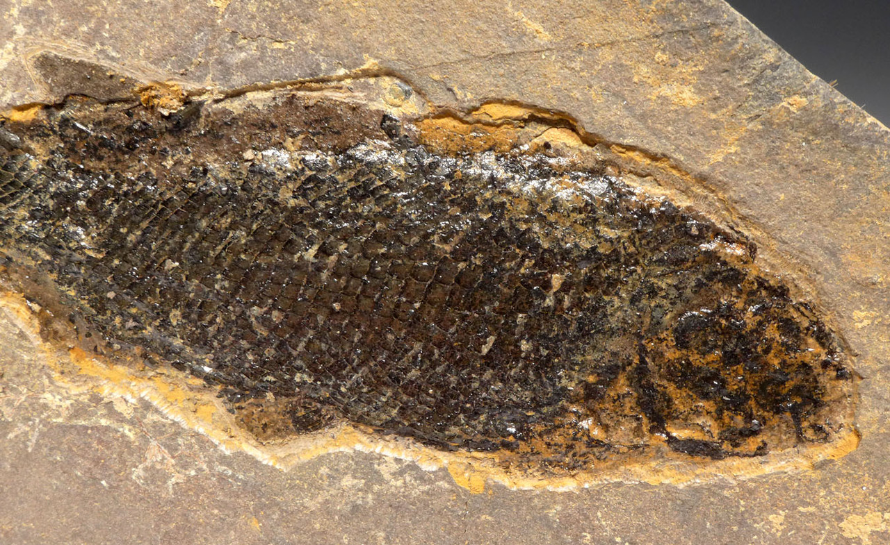 PERMIAN PARAMBLYPTERUS FISH FOSSIL FROM BEFORE THE DINOSAURS *F167