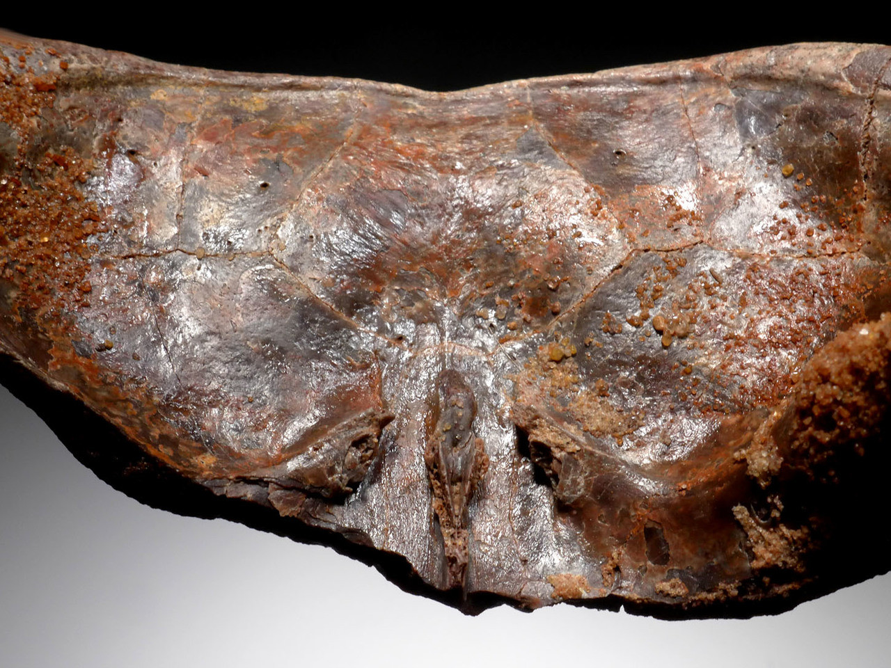 EXTREMELY RARE PARTIAL CARAPACE SHELL OF A DINOSAUR ERA TURTLE HAMADACHELYS FROM NORTH AFRICA *TUR001