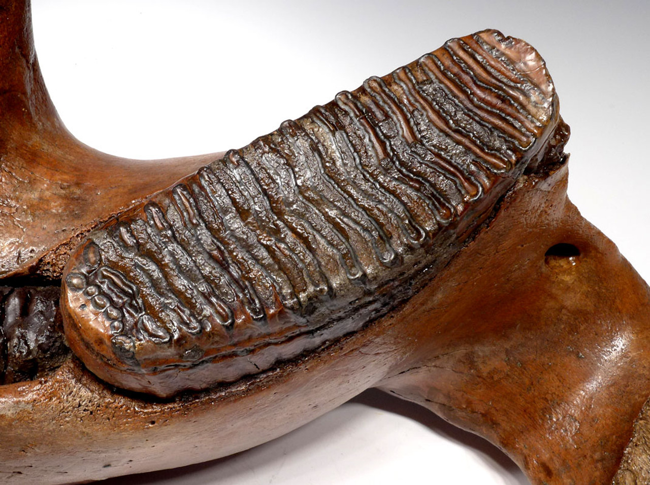 WOOLLY MAMMOTH JAW WITH MOLAR TEETH IN FINEST PRESERVATION *LMX187