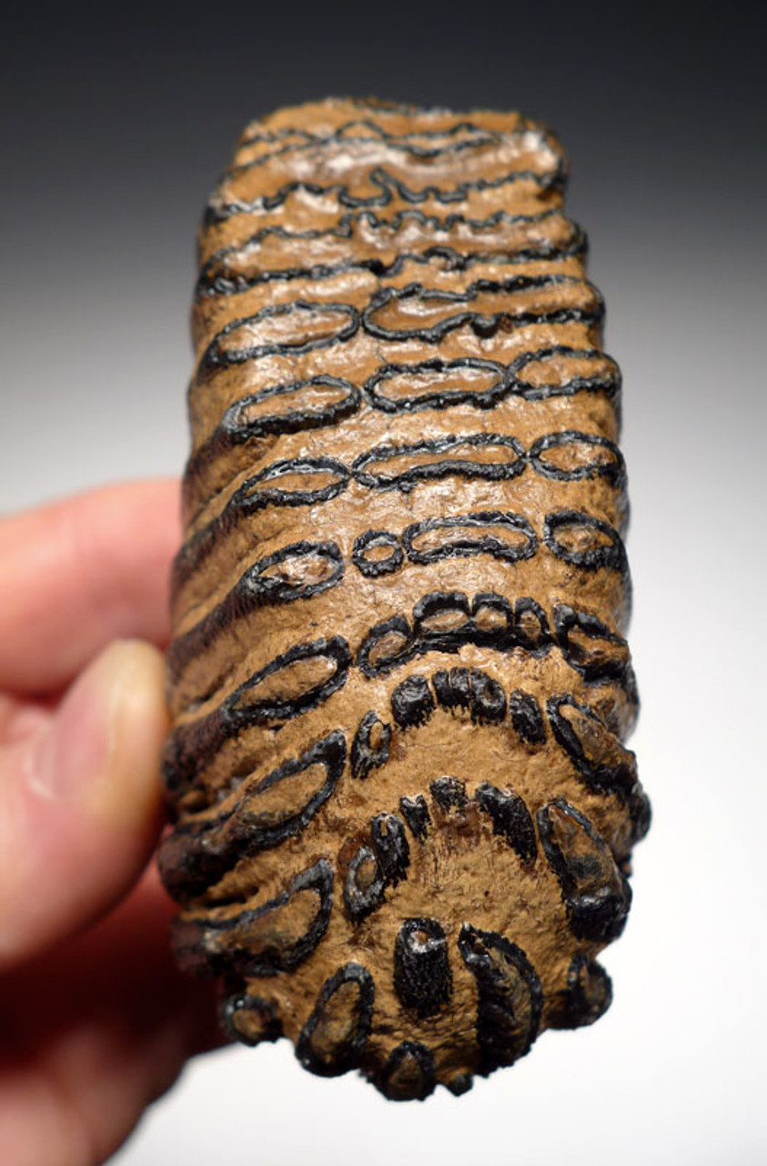 EXTREMELY RARE BABY MERIDIONALIS SOUTHERN MAMMOTH TOOTH OF EUROPEAN ORIGIN *MTB007