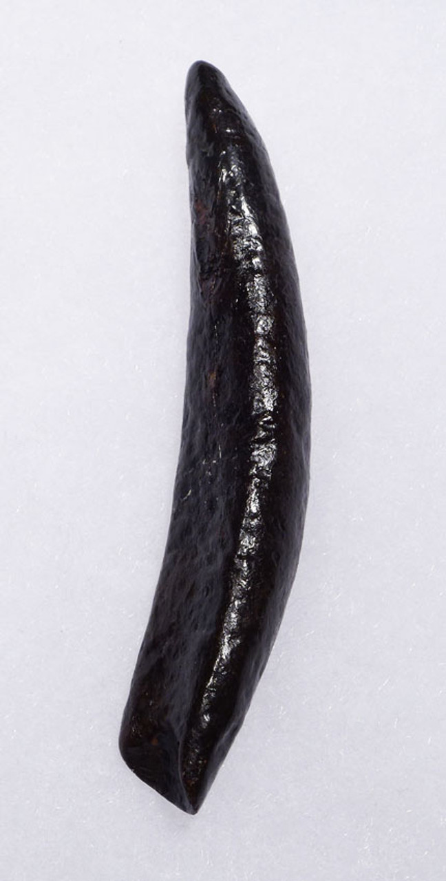 SUPREME PYGMY DWARF SPERM WHALE FOSSIL TOOTH OF THE KOGIA SPECIES *WH030