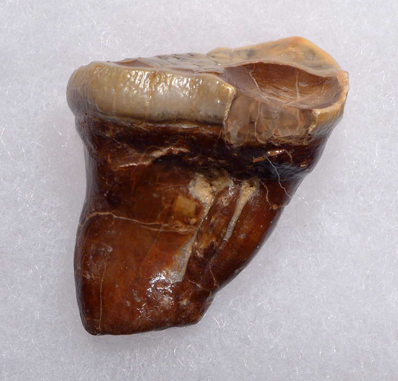CAVE BEAR FOSSIL MOLAR WITH TOOTH DECAY FROM THE FAMOUS DRACHENHOHLE DRAGONS CAVE IN AUSTRIA *LMX242