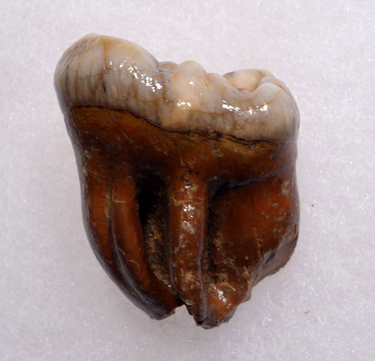 SUPERB AUSTRIAN CAVE BEAR FOSSIL MOLAR TOOTH WITH FULL ROOT FROM THE FAMOUS DRACHENHOHLE DRAGONS CAVE *LMX241