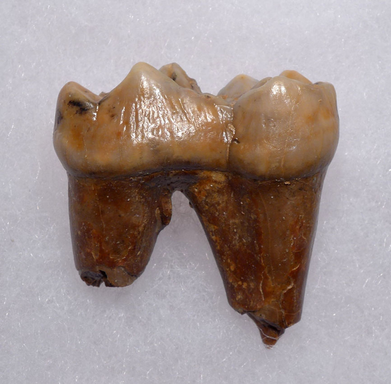 CAVE BEAR FOSSIL MOLAR TOOTH WITH ROOT FROM THE FAMOUS DRACHENHOHLE DRAGONS CAVE IN AUSTRIA *LMX239