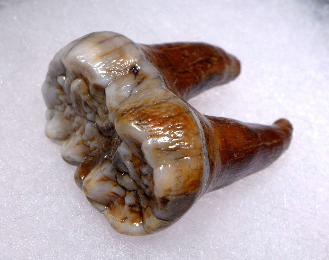 SUPERB AUSTRIAN CAVE BEAR FOSSIL MOLAR TOOTH WITH FULL ROOT FROM THE FAMOUS DRACHENHOHLE DRAGONS CAVE *LMX240