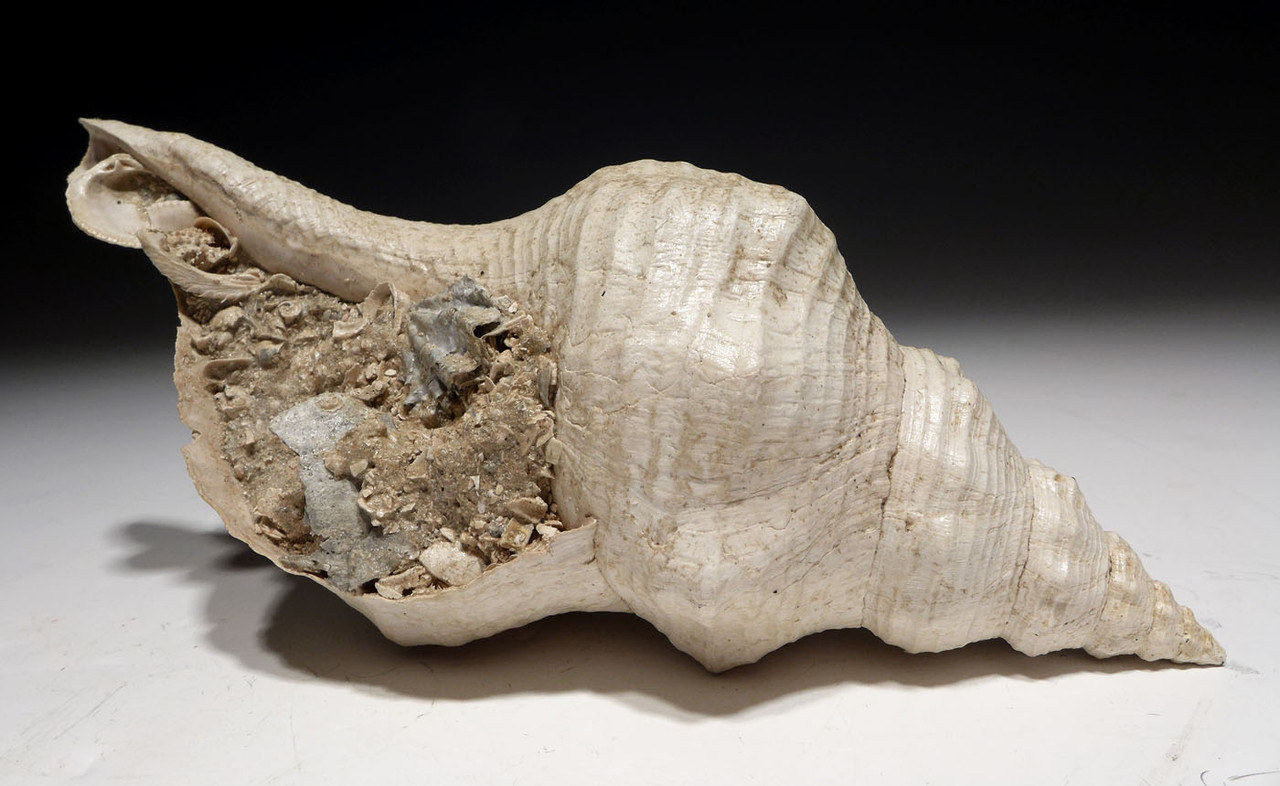 FOSSIL HORSE CONCH SEA SNAIL SHELL TRIPLOFUSUS WITH ORIGINAL SHELL PIT MATRIX *GA056