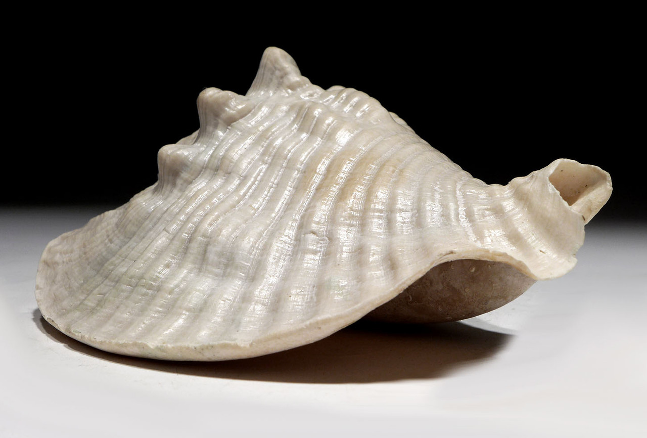 FINEST POSSIBLE PREHISTORIC MACROSTROMBUS SCOTTI SEA SNAIL FOSSIL CONCH SHELL FROM THE PLIOCENE *GA059