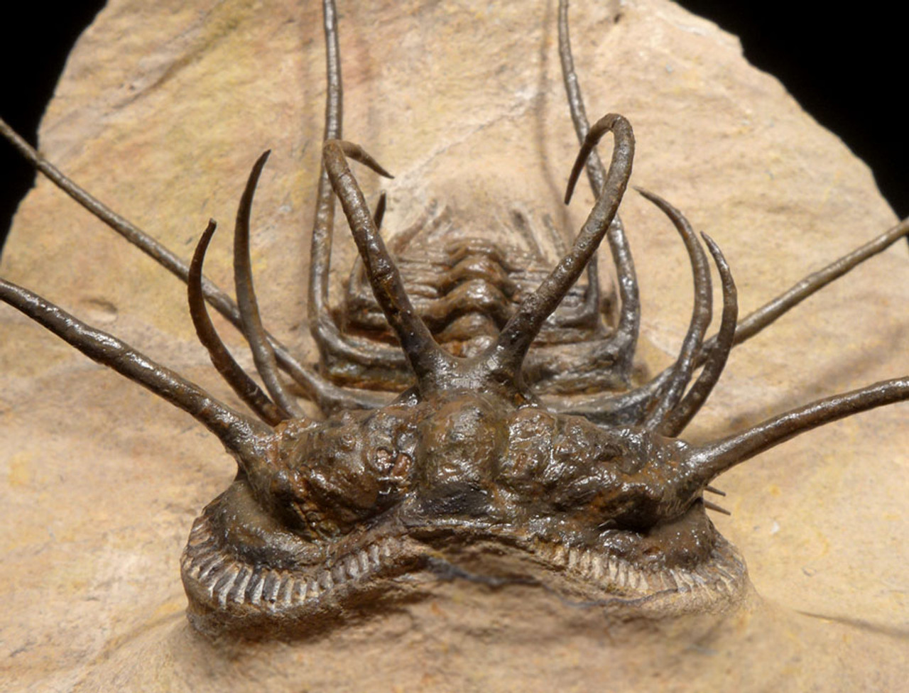 UNUSUALLY LARGE CERATONURUS SPINY TRILOBITE WITH EXPOSED SPINES *TRX325