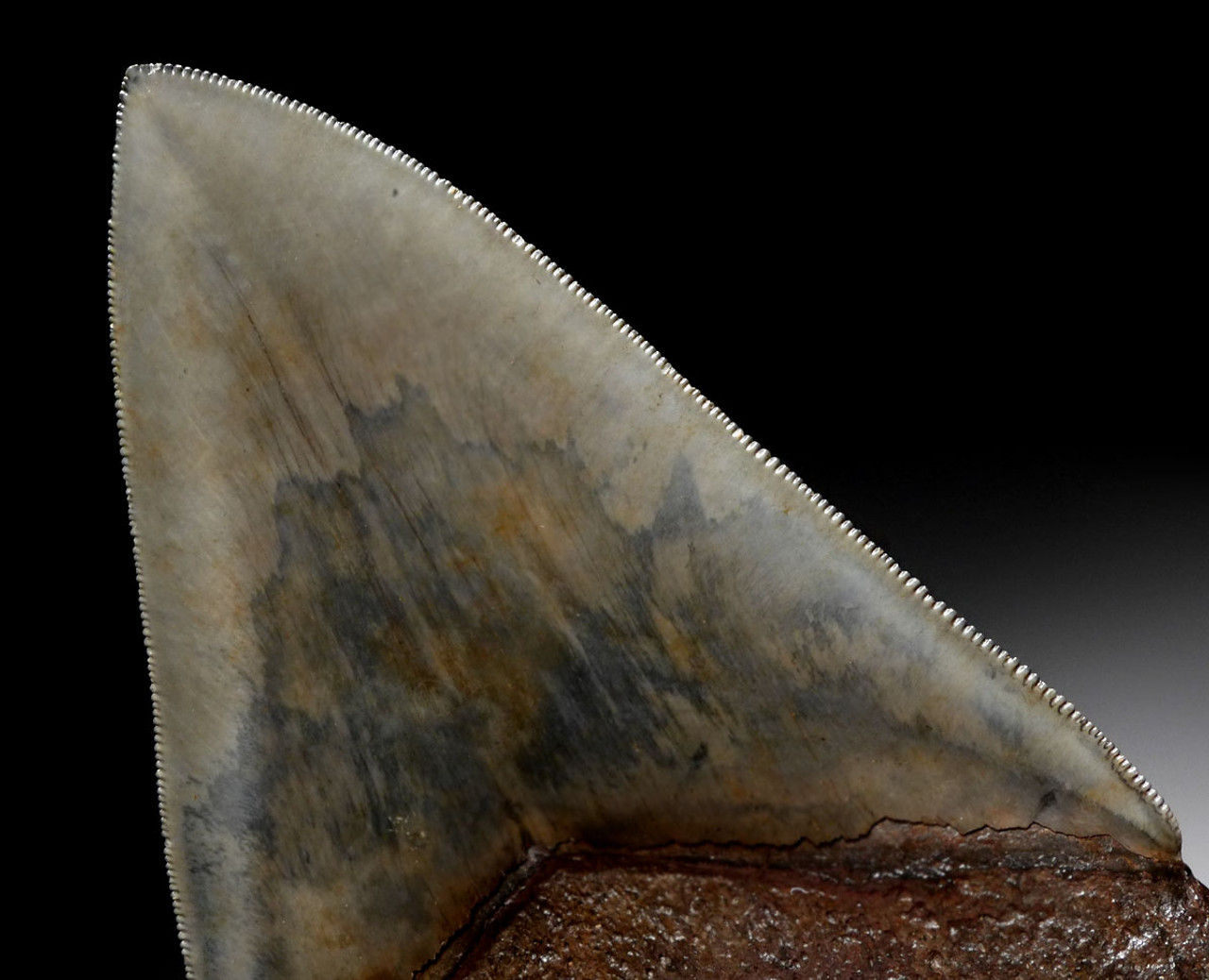 FINEST LARGE INVESTMENT QUALITY MEGALODON SHARK TOOTH 4.8 INCH WITH BRONZE AND STEEL BLUE ENAMEL *SH6-412