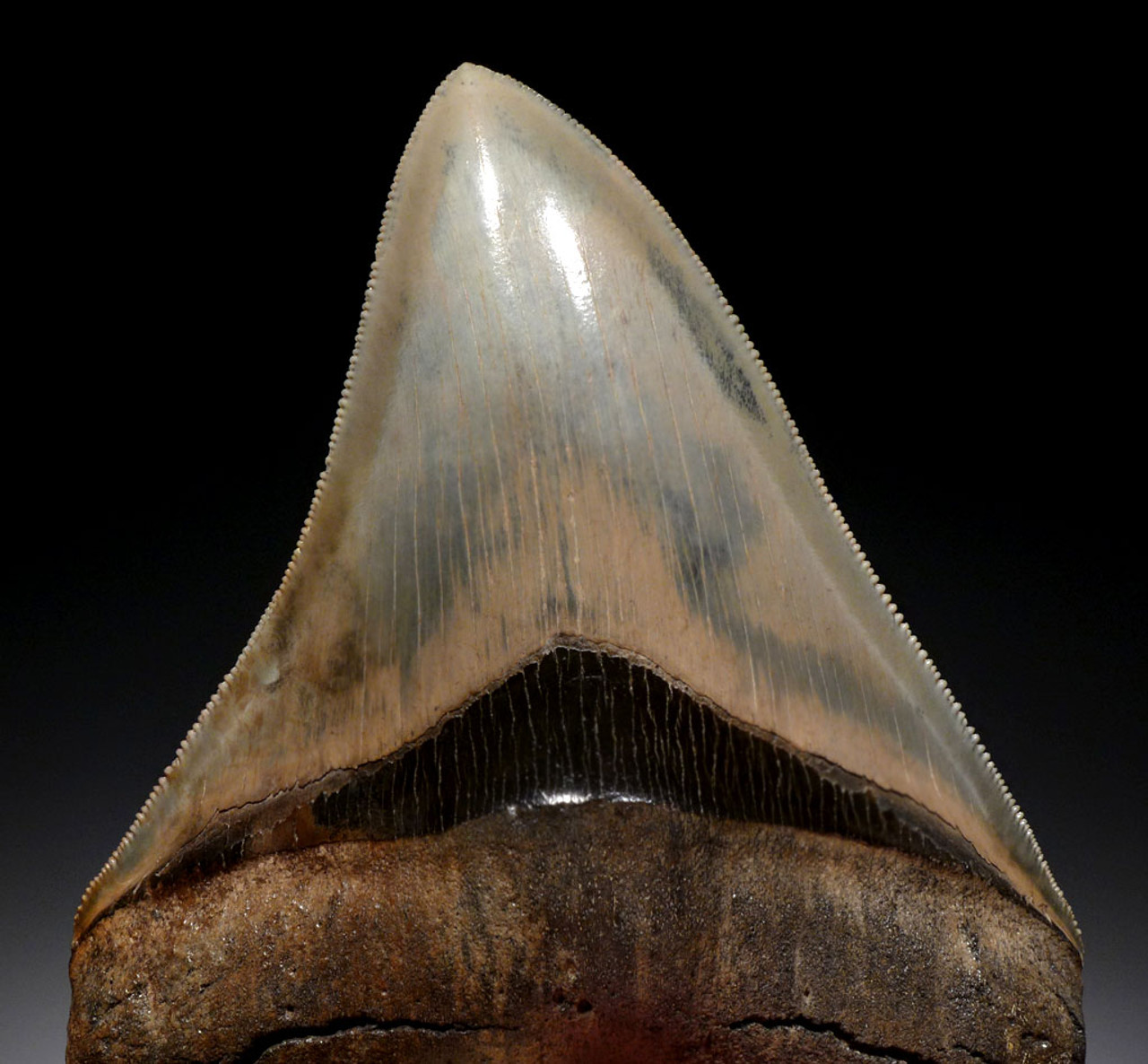 INVESTMENT GRADE MEGALODON 4.6 INCH FOSSIL SHARK TOOTH WITH AMAZING COLOR *SH6-413