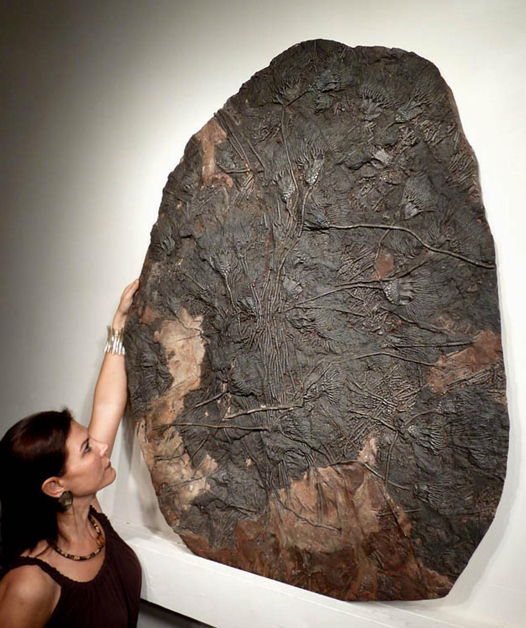 jewelleryartscraftslapidaryfossil collecting. 6 Large Pieces of Scottish Fossil Sea LilyCrinoid Carboniferous era 3 million years old