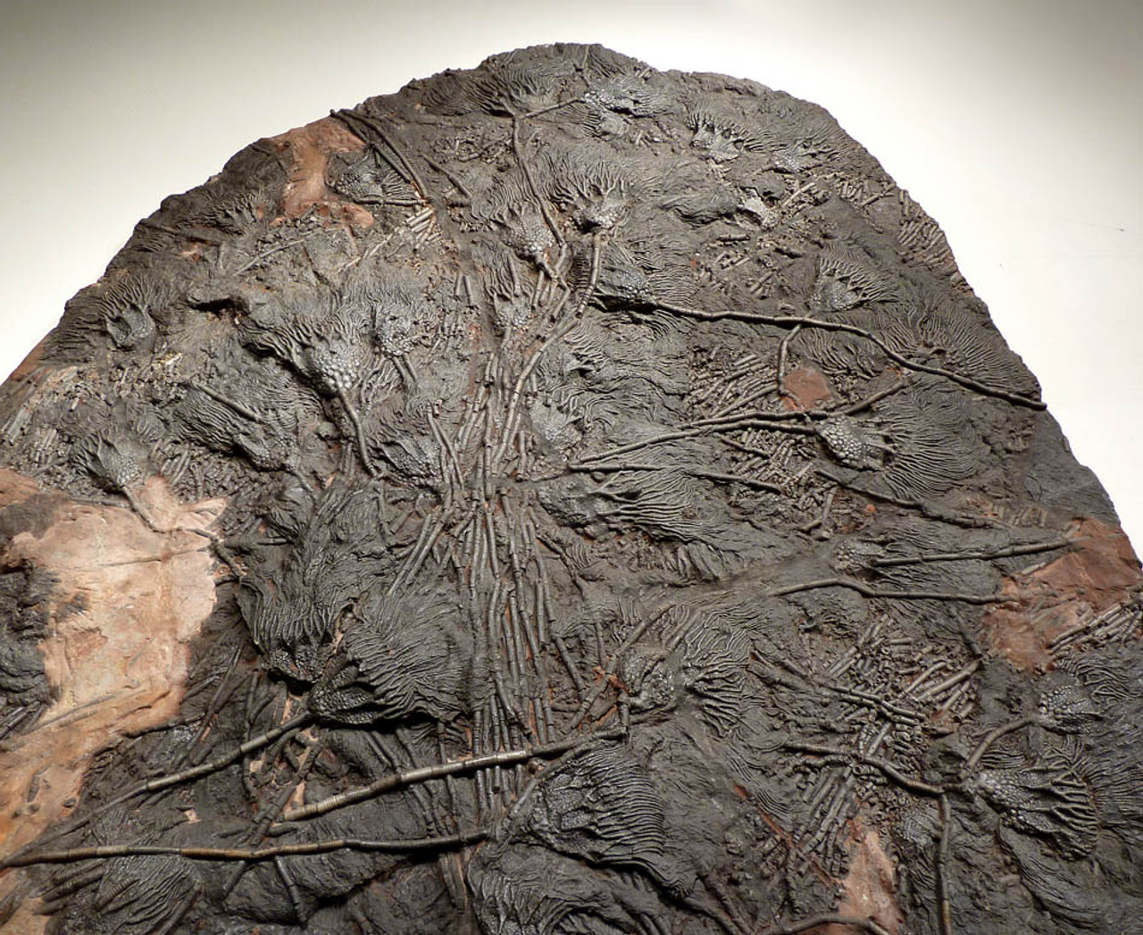 LARGE INTERIOR DESIGN SHOWPIECE FOSSIL OF PREHISTORIC SEA LILY CRINOIDS FROM 420 MILLION YEARS AGO *CRI031