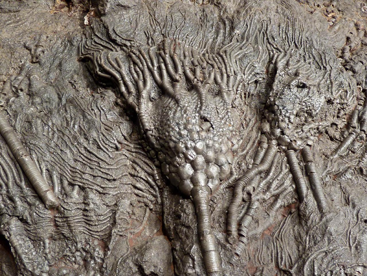 LARGE INTERIOR DESIGN SHOWPIECE FOSSIL OF PREHISTORIC SEA LILY CRINOIDS FROM 420 MILLION YEARS AGO *CRI031