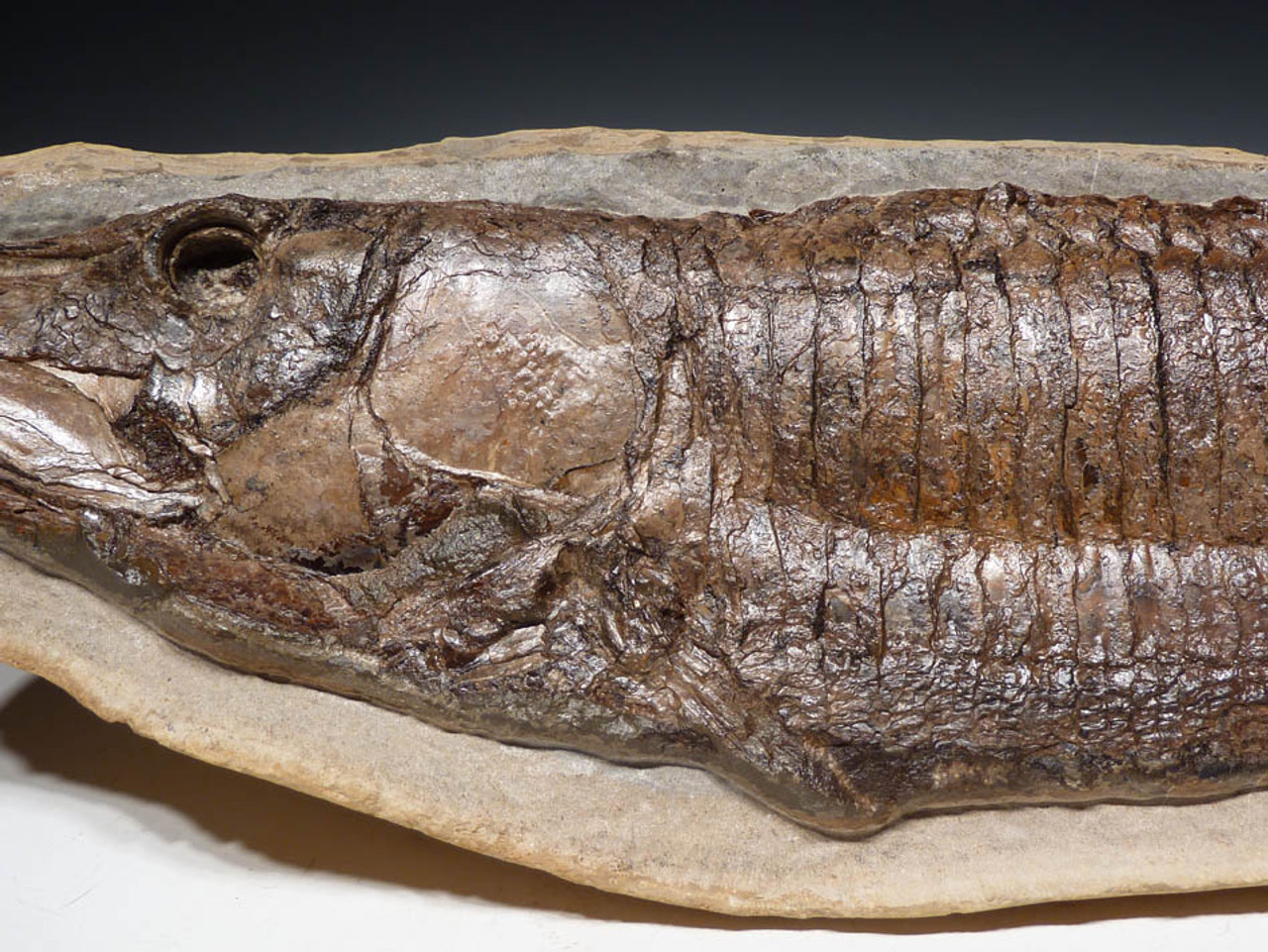 FINEST LARGE DINOSAUR-ERA VINCTIFER ASPIDORHYNCHID FISH FOSSIL PRESERVED IN LIFE-LIKE FORM *F102