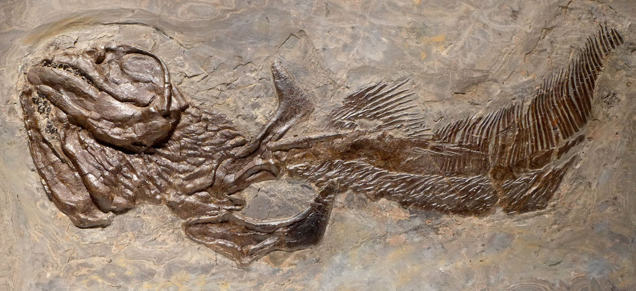 FOSSIL SHARK SKELETON OF A HALF-EATEN PERMIAN ORTHACANTHUS LEBACHACANTHUS  *F129
