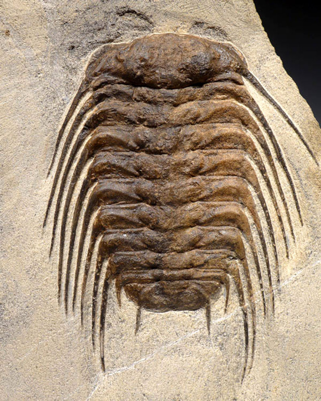 FINEST MAXIMUM SIZE SPINY SELENOPELTIS TRILOBITE FROM THE ORDOVICIAN PERIOD *TRX273