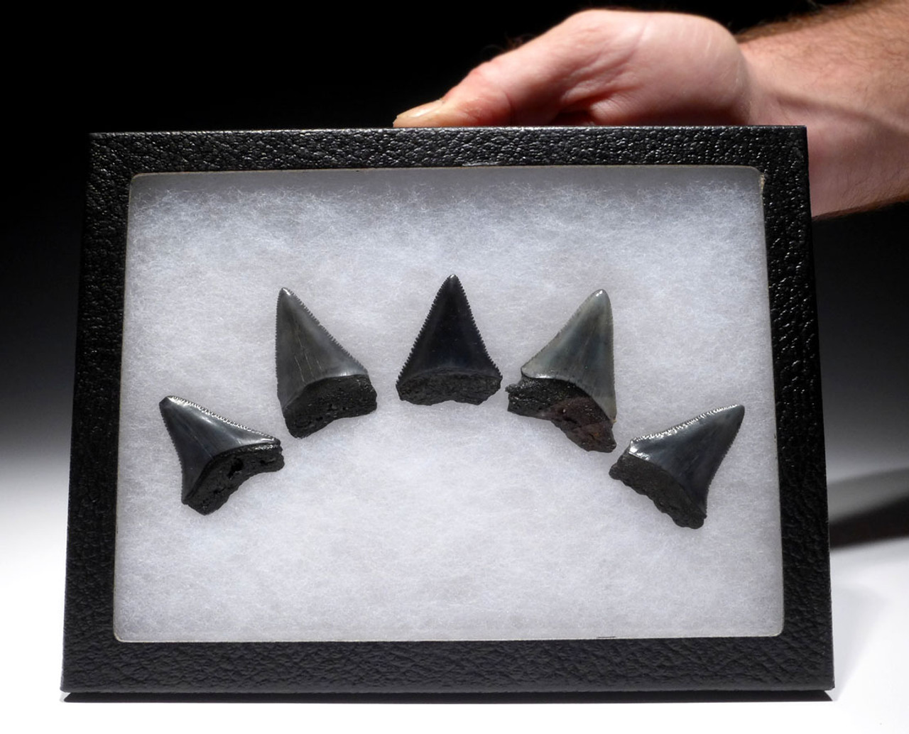 SET OF FIVE GREAT WHITE FOSSIL SHARK CARCHARIAS TEETH *SHX058