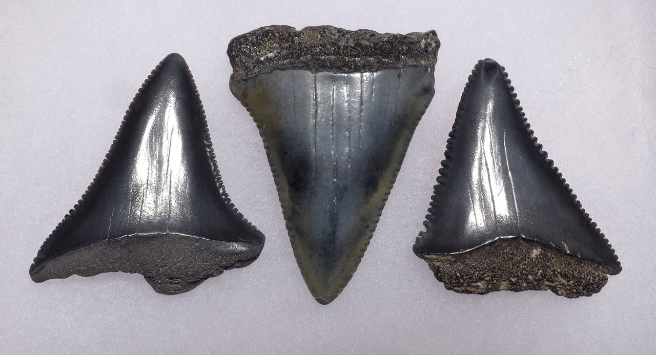 SET OF THREE FOSSIL GREAT WHITE SHARK TEETH FROM THE MIOCENE PLIOCENE PERIOD *SHX068