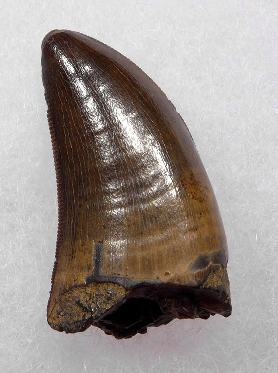 INVESTMENT GRADE BABY TYRANNOSAURUS T REX TOOTH WITH THE FINEST PRESERVATION *DT18-102