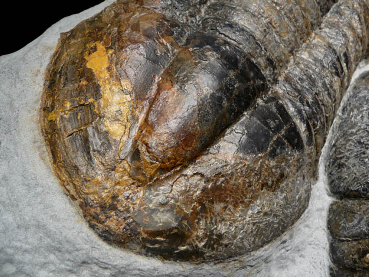 TRX-019 - SUBSTANTIAL FOSSIL OF LARGE ASAPHUS TRILOBITES IN NATURAL POSITIONS AS FOUND