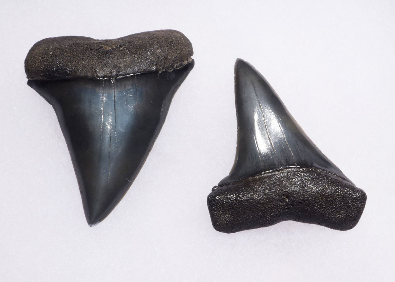 SUPREME UPPER AND LOWER FOSSIL SHARK TEETH FROM A PREHISTORIC MAKO ISURUS SHARK *SHX066