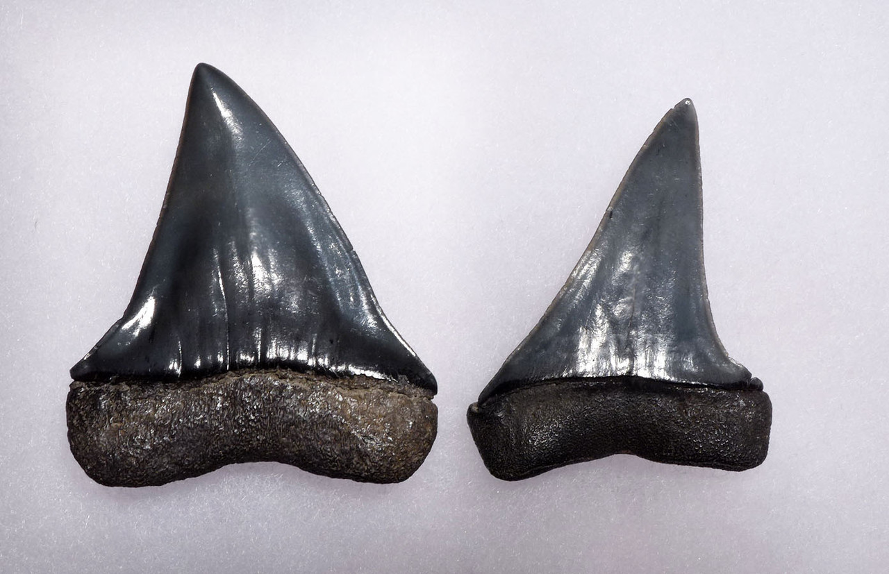 SUPREME UPPER AND LOWER FOSSIL SHARK TEETH FROM A PREHISTORIC MAKO ISURUS SHARK *SHX066