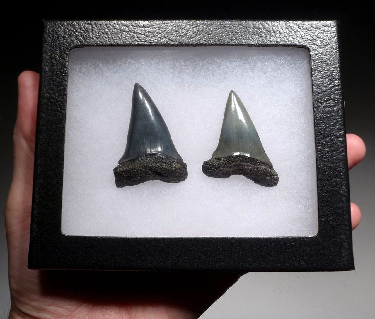 TWO PREHISTORIC MAKO ISURUS SHARK FOSSIL TEETH FROM THE LOWER JAW *SHX064