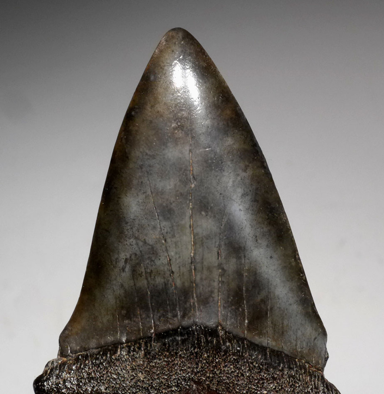 LARGE 2.35 INCH FOSSIL SHARK TOOTH FROM A PREHISTORIC MAKO ISURUS HASTALIS SHARK *SHX071