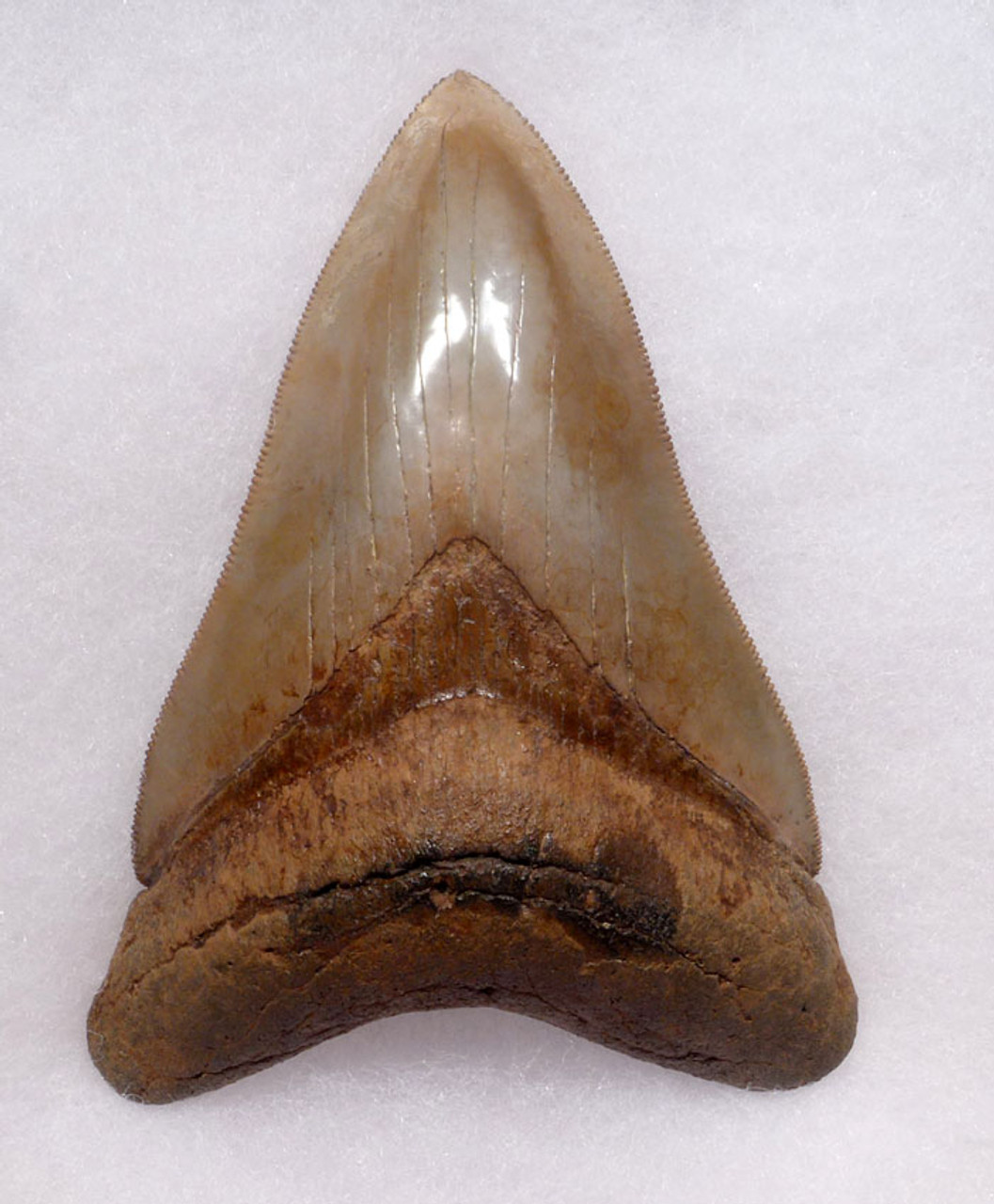FINEST INVESTMENT GRADE PEARL GOLD AND RED SPOTTED 3.95 INCH MEGALODON SHARK TOOTH *SH6-385
