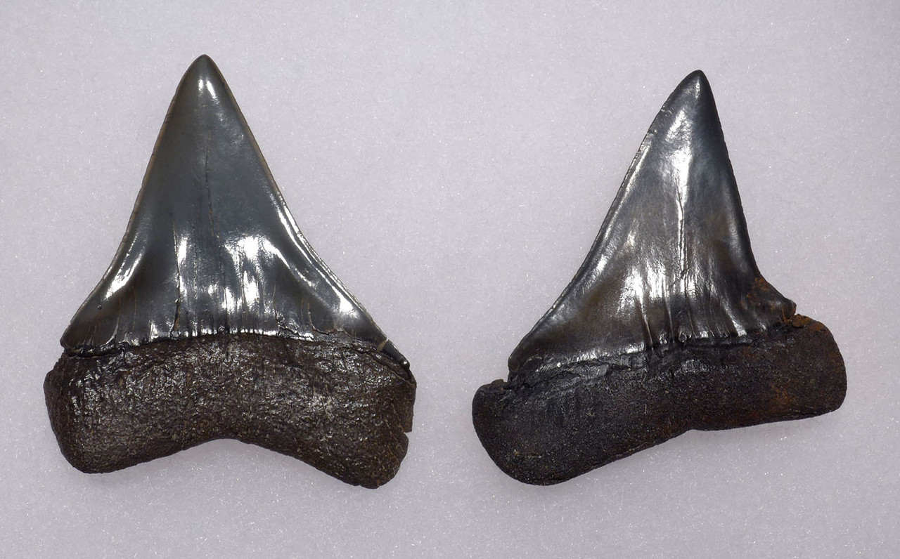 TWO QUALITY UPPER AND LOWER FOSSIL SHARK TEETH FROM A PREHISTORIC MAKO ISURUS SHARK *SHX067