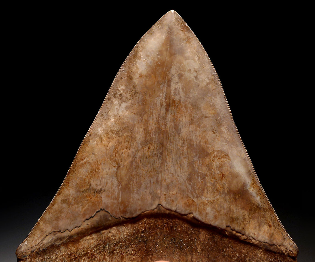 COLLECTOR GRADE SPOTTED PEARLESCENT COPPER BROWN 4.65 INCH MEGALODON SHARK TOOTH *SH6-364