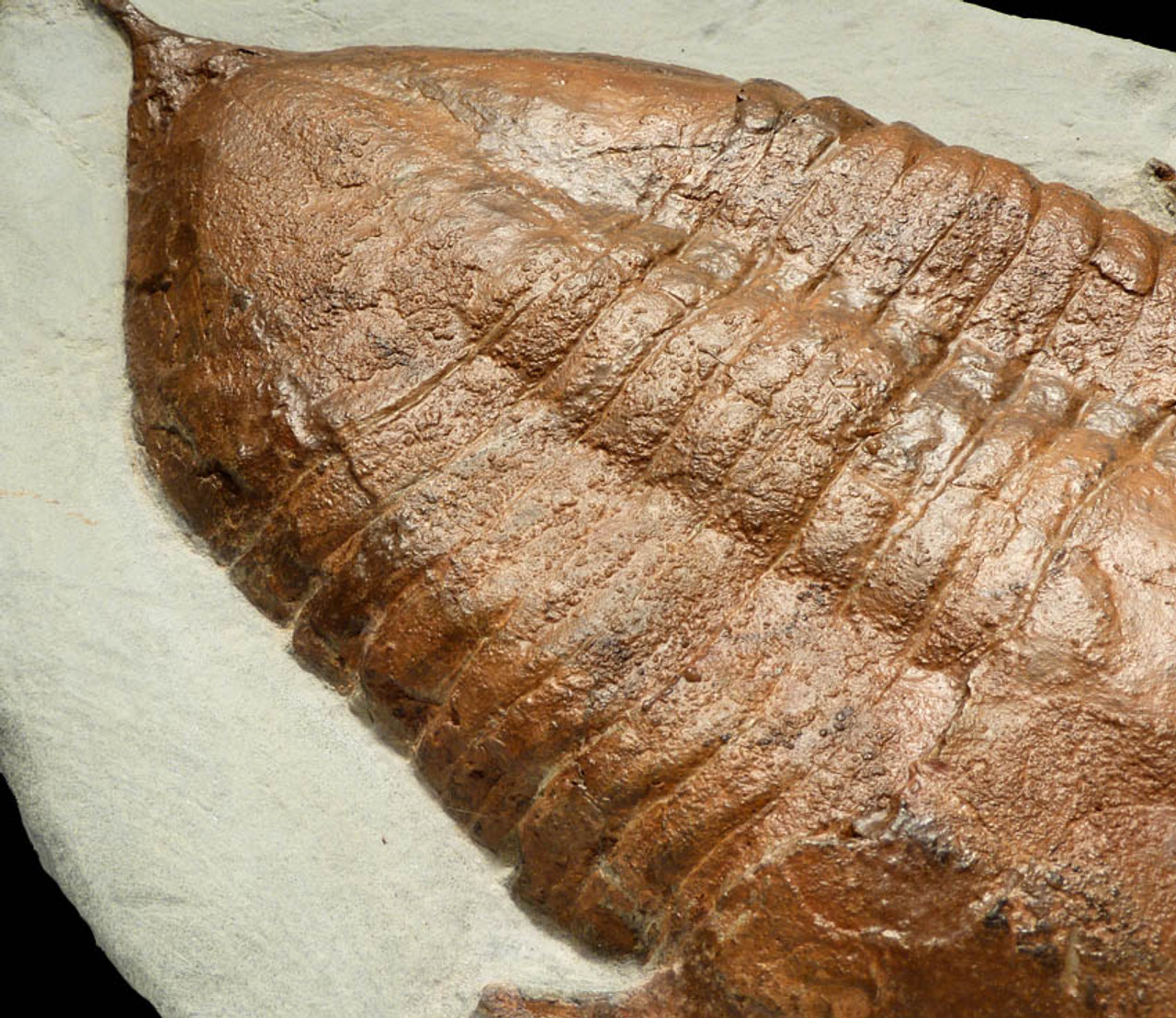TRX032 - HUGE SPINY TAIL ASAPHID ORDOVICIAN TRILOBITE FOSSIL