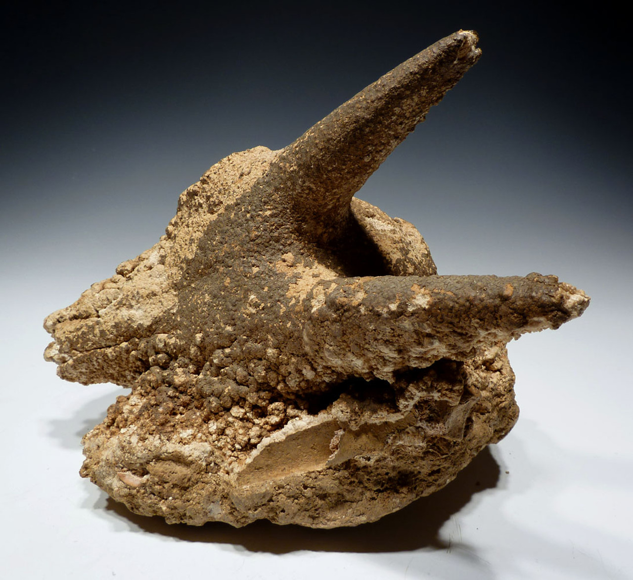 """ULTRA-RARE FOSSIL IBEX FOSSIL SKULL FOUND IN A CAVE COVERED IN CAVE PEARLS """"THE SLEEPING IBEX"""" *F46"""