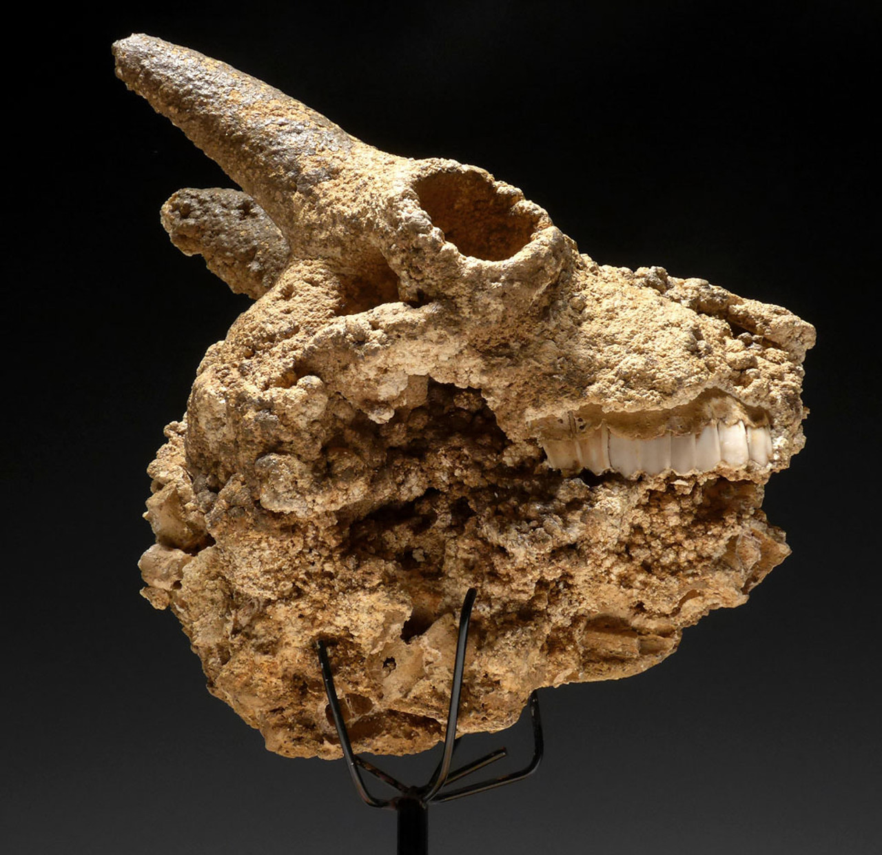 "ULTRA-RARE FOSSIL IBEX FOSSIL SKULL FOUND IN A CAVE COVERED IN CAVE PEARLS ""THE SLEEPING IBEX"" *F46"