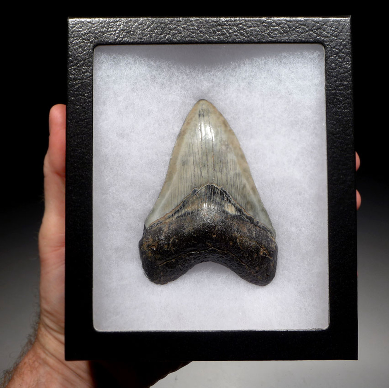 COLLECTOR GRADE 3.85 INCH MEGALODON SHARK TOOTH WITH PEARLY WHITE ENAMEL AND OPEN SPOTS *SH6-397