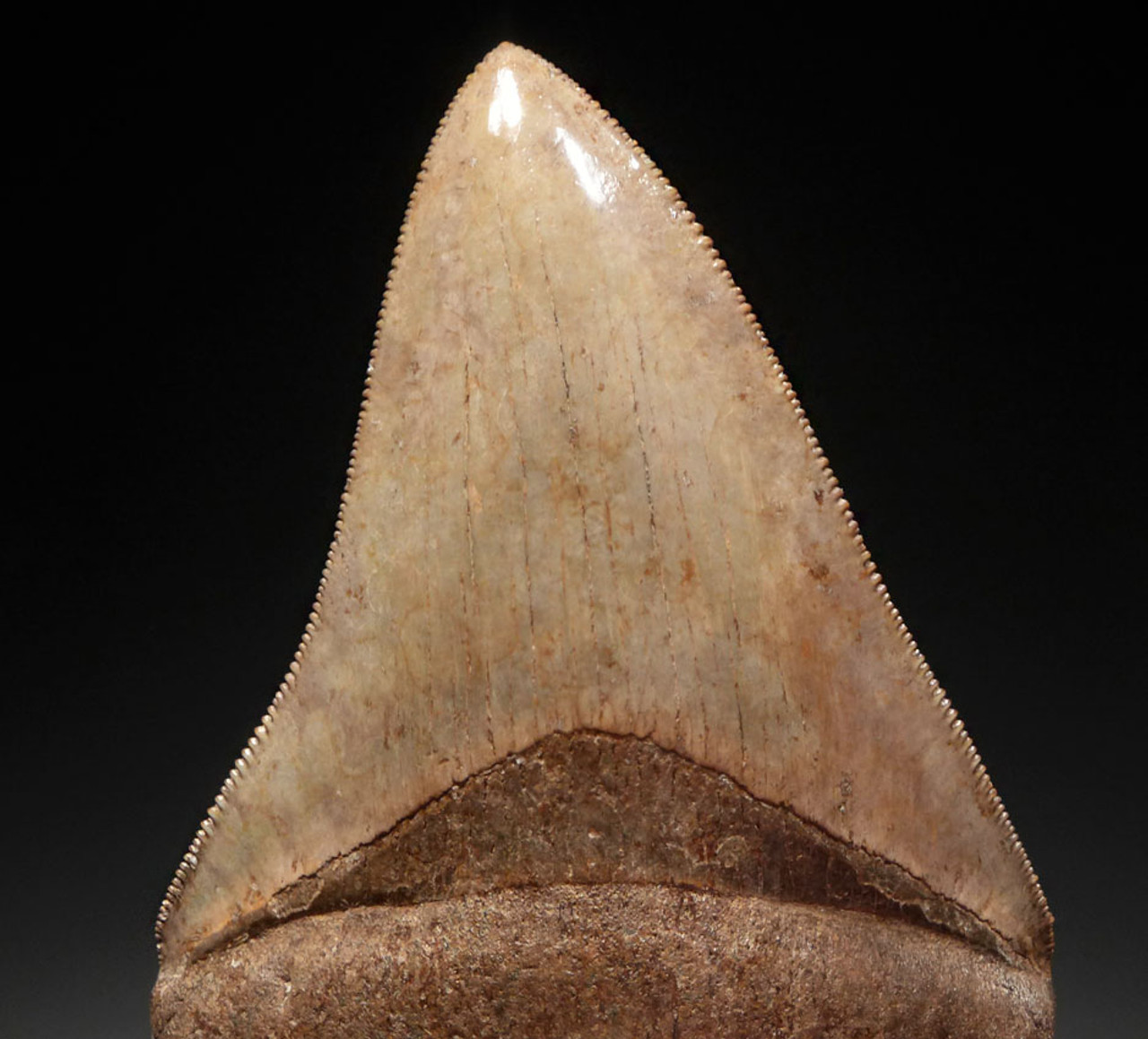 RARE COLLECTOR GRADE COPPER RED AND CHAMPAGNE 3.8 INCH MEGALODON SHARK TOOTH *SH6-375