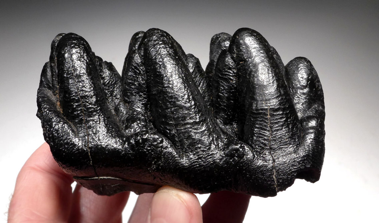 RARE UNERUPTED GOMPHOTHERE PREHISTORIC ELEPHANT MOLAR TOOTH WITH UNWORN CROWN *LMX186