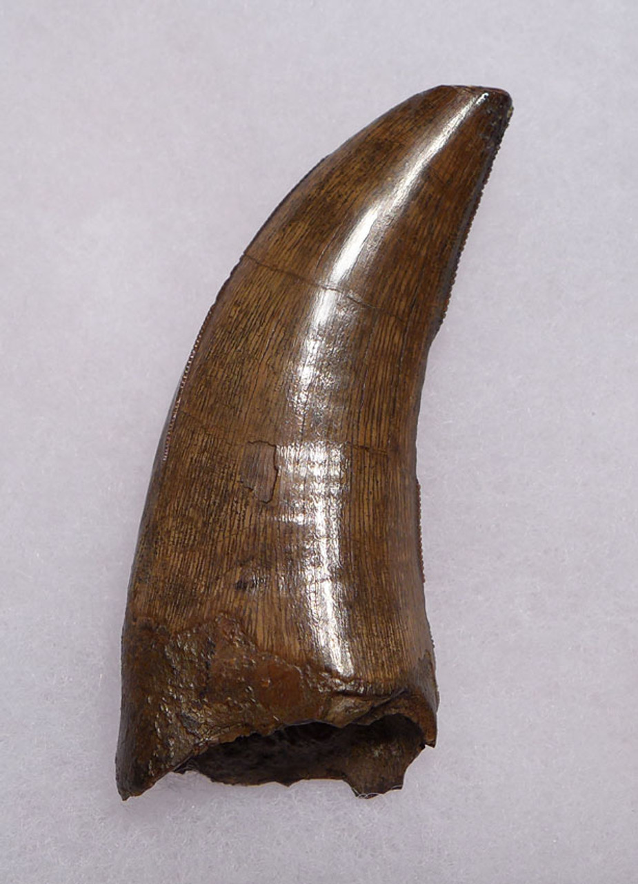 SUPREME QUALITY 2.4 INCH TYRANNOSAURUS T REX TOOTH FROM MONTANA *DT18-099