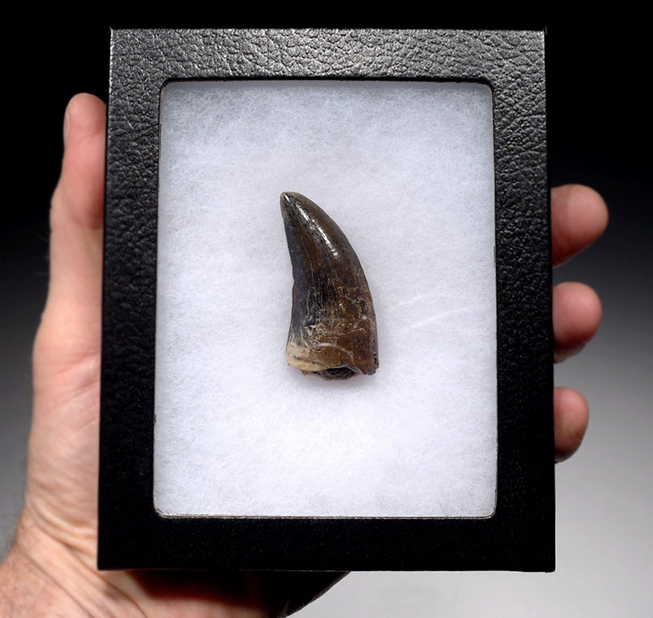 UNIQUELY COLORED TYRANNOSAURUS REX 2.3 INCH TOOTH WITH NO REPAIR OR RESTORATION -DT18-103