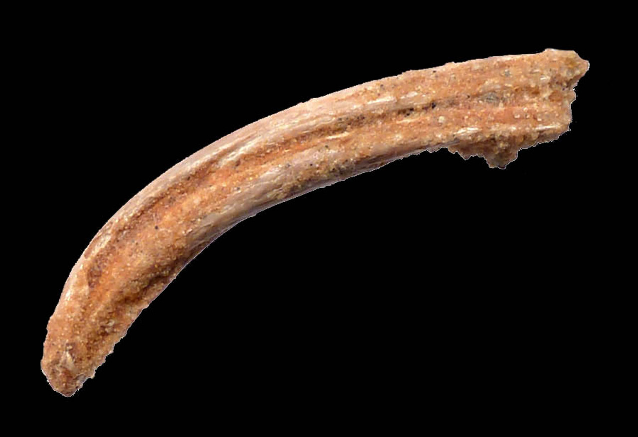 EXTRAORDINARILY RARE PTERODACTYL CLAW FROM POSSIBLY A NEW UNDESCRIBED PTEROSAUR SPECIES *DCX004