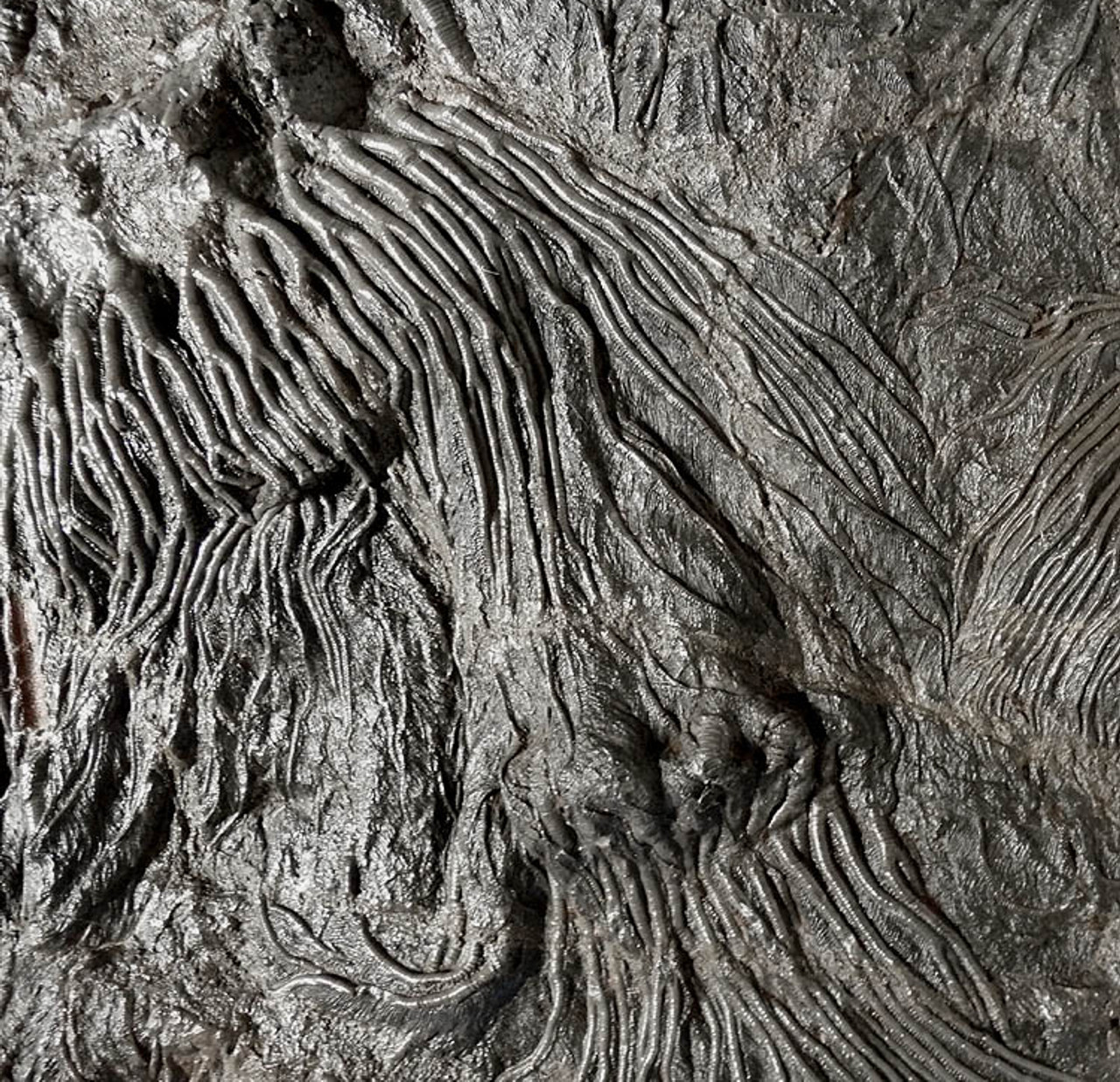LARGE INTERIOR DESIGN ACCENT FOSSIL GIANT SEA LILY CRINOIDS ON A PREHISTORIC OCEAN FLOOR *CRI001